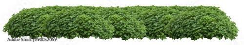 Fotografia, Obraz Green fresh ornamental wild hedge isolated on white background
