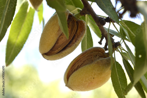 Carta da parati Almond tree.