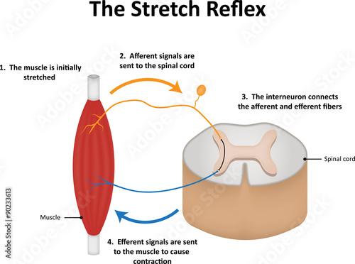 The Stretch Reflex Fotobehang