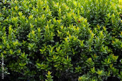 Billede på lærred green shrub in the garden for background and perspective.