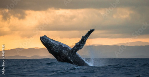 Canvas Print Jumping humpback whale over water. Madagascar. at sunset.