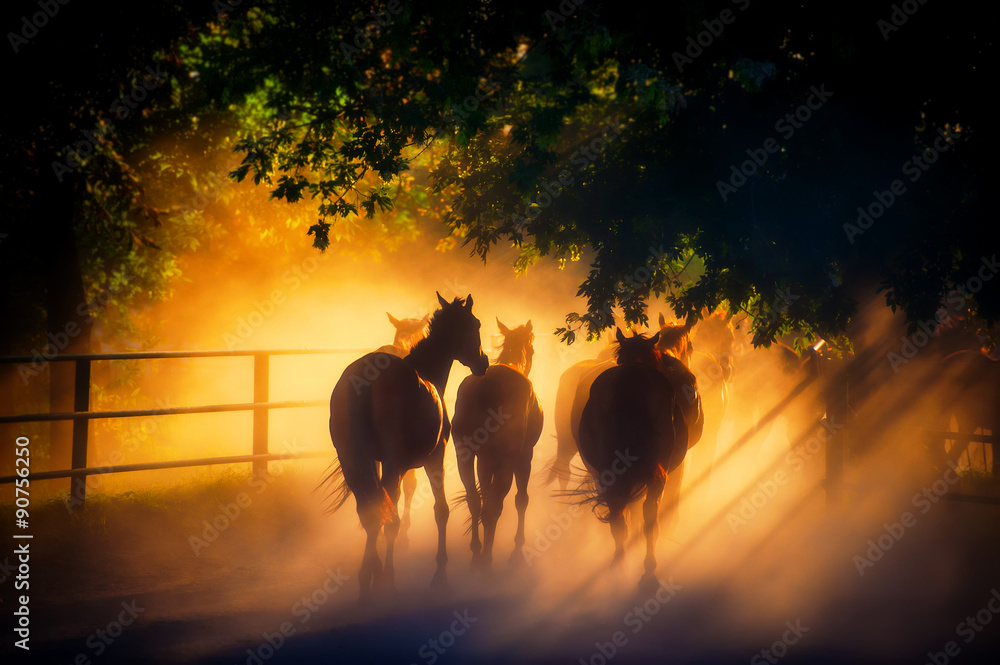 Herd of Horses is Coming Back From Pasture.