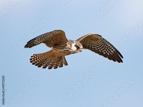 Fototapeta Poštolka Rudonohá (Falco vespertinus)