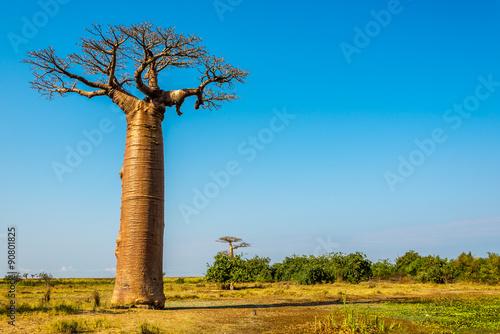 Fotografia Baobab trees near Morondava