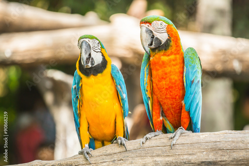 Wallpaper Mural Macaw parrots