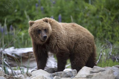 Portrait of wild free roaming brown bear