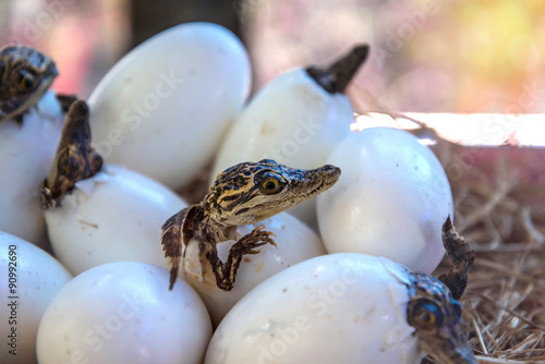 stuff of Little baby crocodiles are hatching from eggs