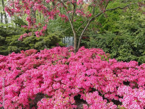 różowe kwiaty w parku w Keukenhof