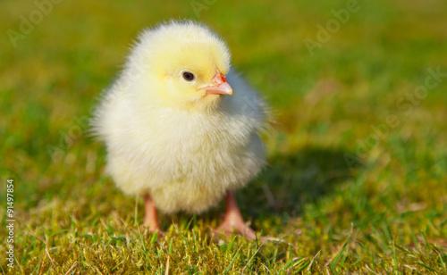 Fotografía Cute little chick outside on green meadow