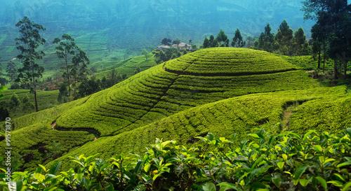 Canvas Print Tea plantation in up country near Nuwara Eliya, Sri Lanka