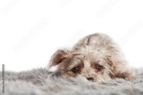 Wallpaper Mural Tired Small Terrier Dog on Fur Blanket