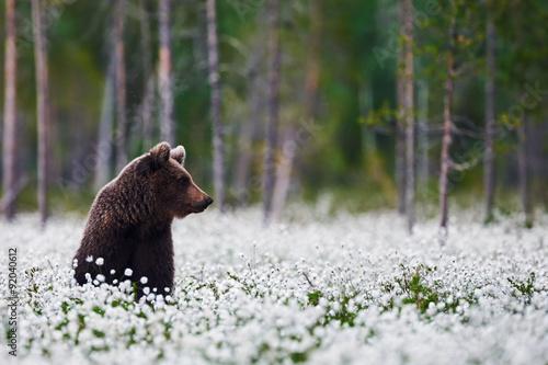 Fototapeta Brown bear between cotton grass