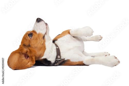 Fototapeta Beagle pes na bílém pozadí