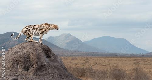 Obraz na płótnie Cheetah