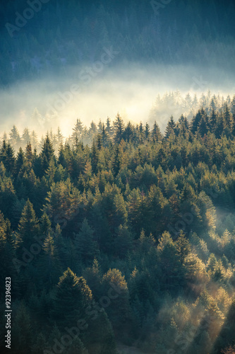 Misty pine forest on the mountain slope in a nature reserve Fototapeta