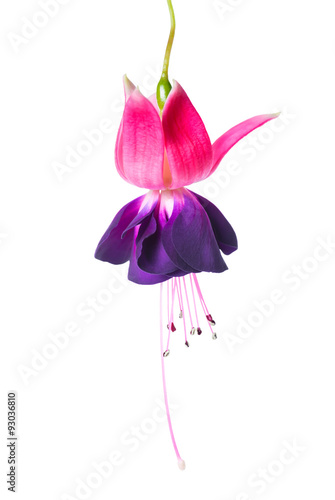 blooming beautiful single flower of violet and red fuchsia is is Fototapeta