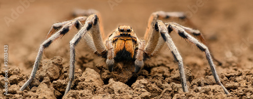 Extreme magnification  - Wolf Spider, full body shot, high resolution