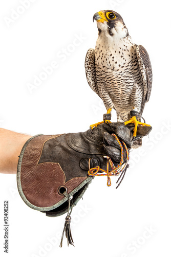 Fototapeta Wild young falcon on trainer glove isolated