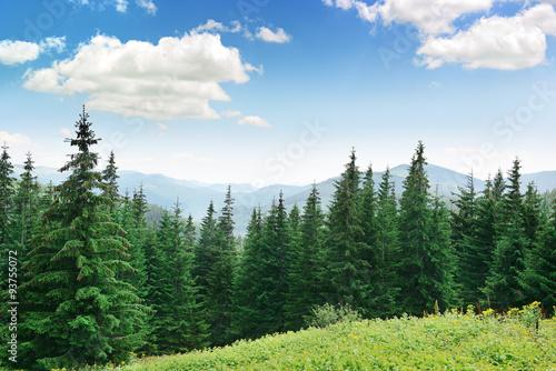 Canvas Print Beautiful pine trees