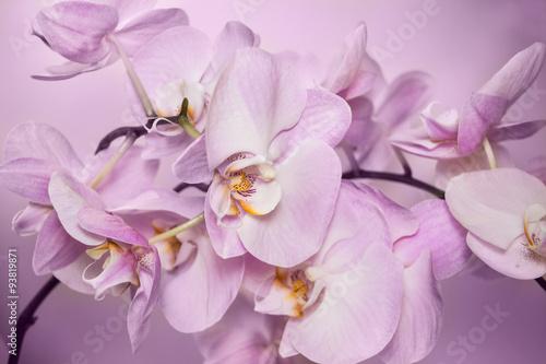 Beautiful background of Phalaenopsis orchid flowers