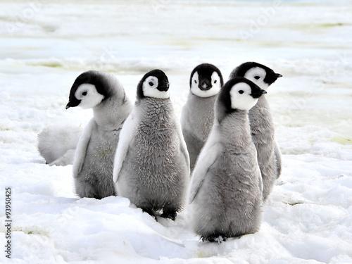 Stampa su Tela Emperor Penguin Chicks