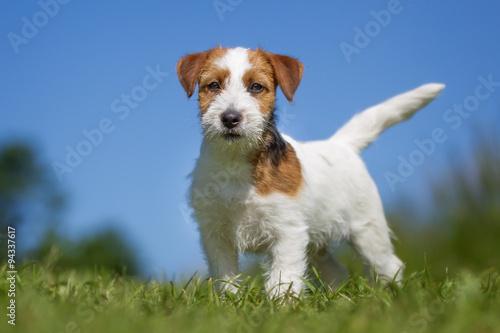 Fotografie, Obraz Jack Russell Terrier dog outdoors on grass