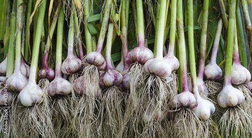 garlic stem root