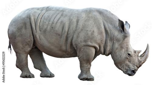 Fototapeta premium nosorożec na białym tle