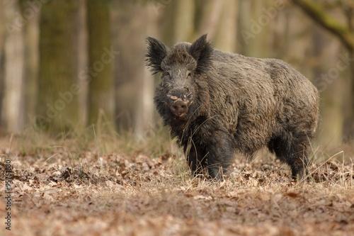 Photographie Wild boar/wild boar