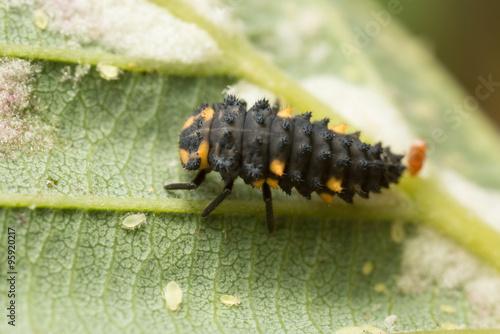 Seven spot ladybug, Coccinella septempunctata larva and aphids on leaf