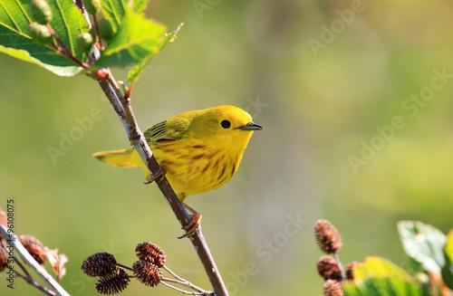 Obraz na plátně A male Yellow Warbler perching on a branch.   Nova Scotia, Canada