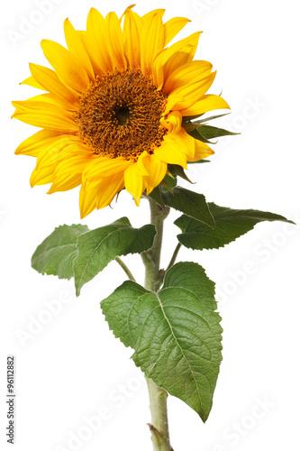 sunflower isolated Fototapeta