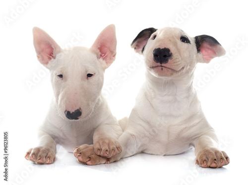 Fotografering puppies bull terrier