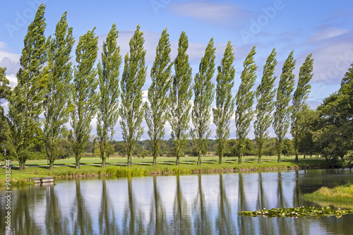 Obraz na plátně Row of Poplar Trees