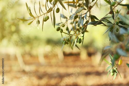 Fotografia Olive trees garden, mediterranean olive field ready for harvest.