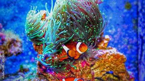 Fényképezés Clownfish in marine aquarium