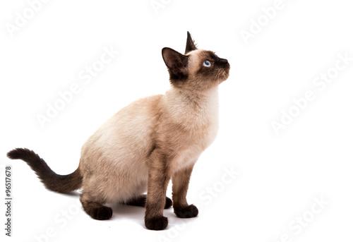 Obraz na płótnie Siamese cat
