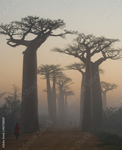 Leinwand Poster Avenue of baobabs at dawn in the mist