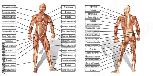 Canvas Print Vector 3D man muscle anatomy with text isolated