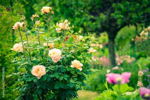 Bush of beautiful roses in a garden #96854680