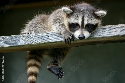 Canvas Print Baby raccoon ventures from nest