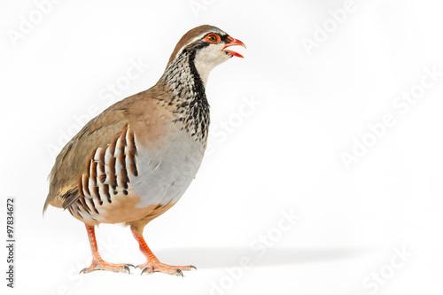 Obraz na plátně Wildlife studio portrait: Red-legged partridge on white background