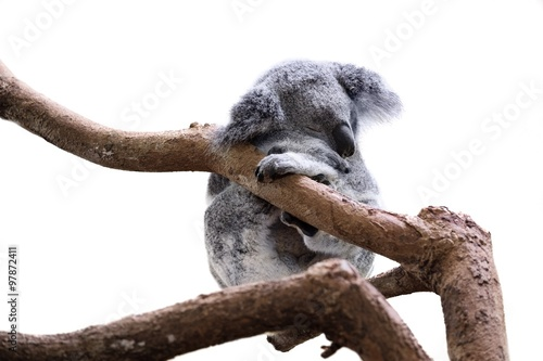 Cute sleeping koala isolated on white