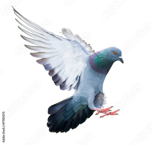 Canvas flying pigeon bird in action isolated