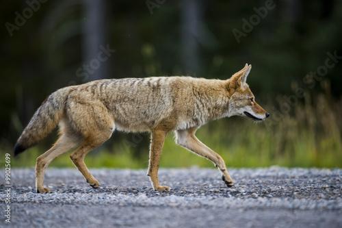 Fotografia Coyote (Canis Latrans)