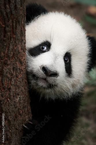Fototapeta cute little panda