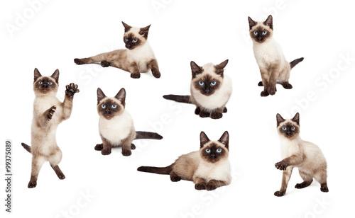 Stampa su Tela Cute Siamese Kitten In Different Positions