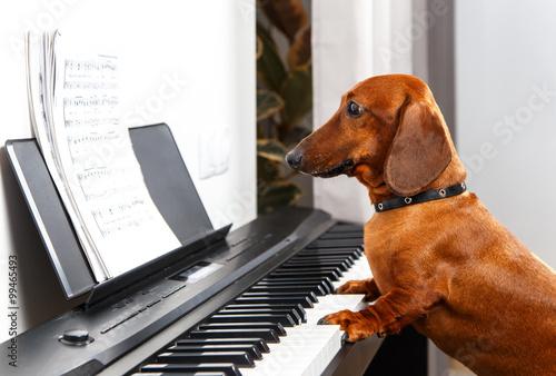 Fototapeta Funny dog playing the piano