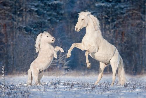 Fototapeta Krásné bílé andaluské hřebce hrát s malým Shetlandský pony v zimě