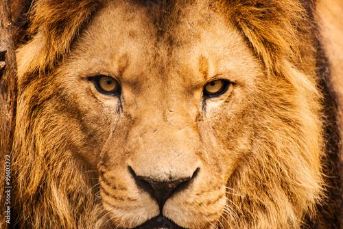 Canvas Print Closeup portrait of an African Lion
